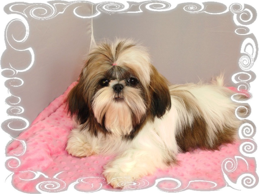 Dixie the Shih Tzu